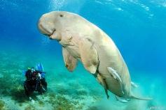 dugong-bunaken