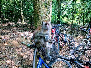 Pulau Ubin Monkey