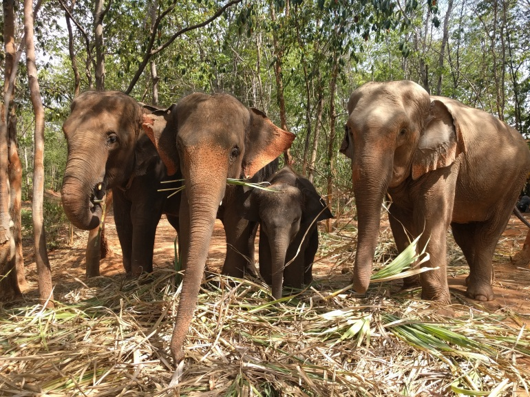 Surin Project Elephants