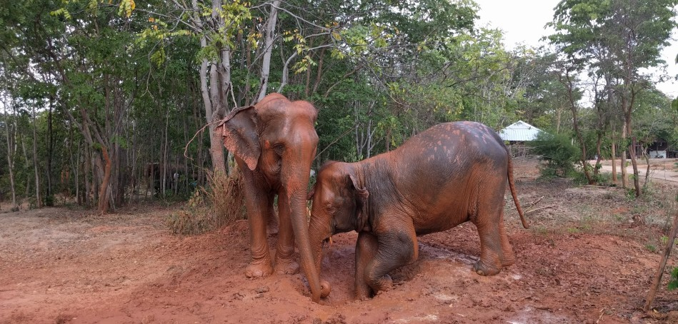 Elephants mud