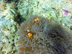 Clown Fish Perhentian Islands