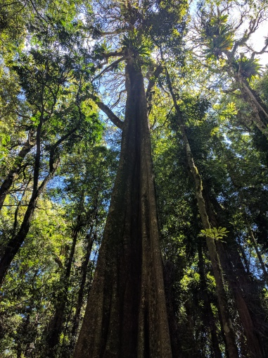 Dorrigo National Park tree
