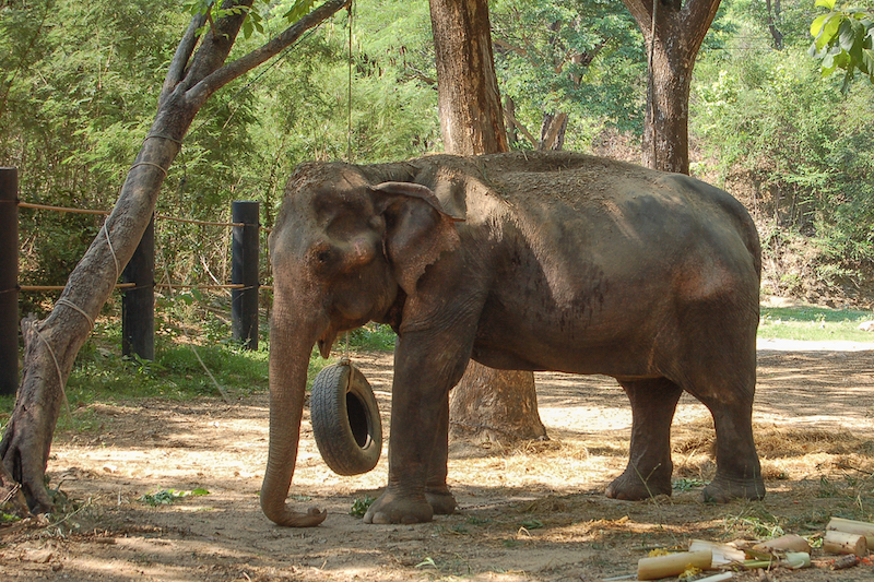 Thai Elephant Refuge Centre