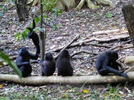 Black Macaques Tankoko