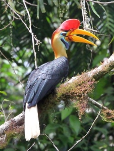 sulawesi-red-knobbed-hornbill