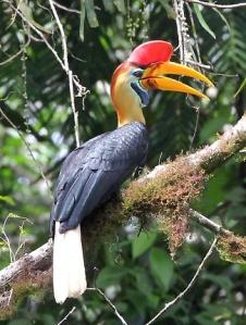 sulawesi-red-knobbed-hornbill