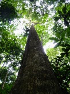 Tankoko Tree