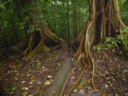 Tankoko trees